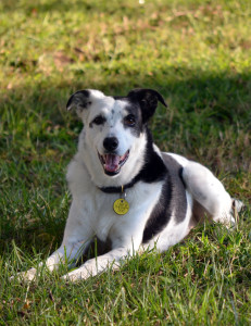 Photo of Kassie, an 11 year old New Zealand Heading Dog